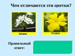 Чем отличаются эти цветки? Вишня Огурец Правильный ответ: У вишни цветки обое
