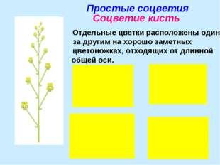 Простые соцветия Соцветие кисть Отдельные цветки расположены один за другим н