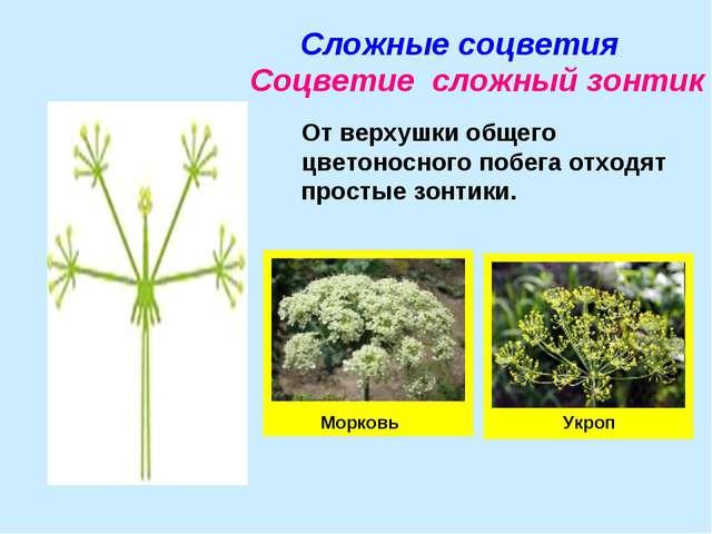 Сложные соцветия Соцветие сложный зонтик От верхушки общего цветоносного побе...