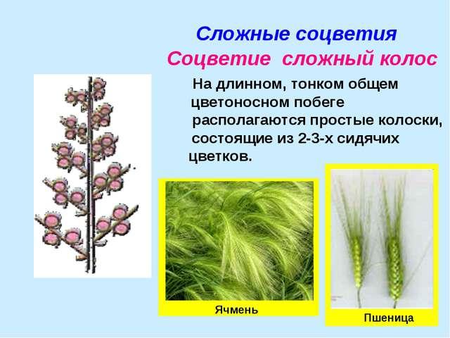 Сложные соцветия Соцветие сложный колос На длинном, тонком общем цветоносном...
