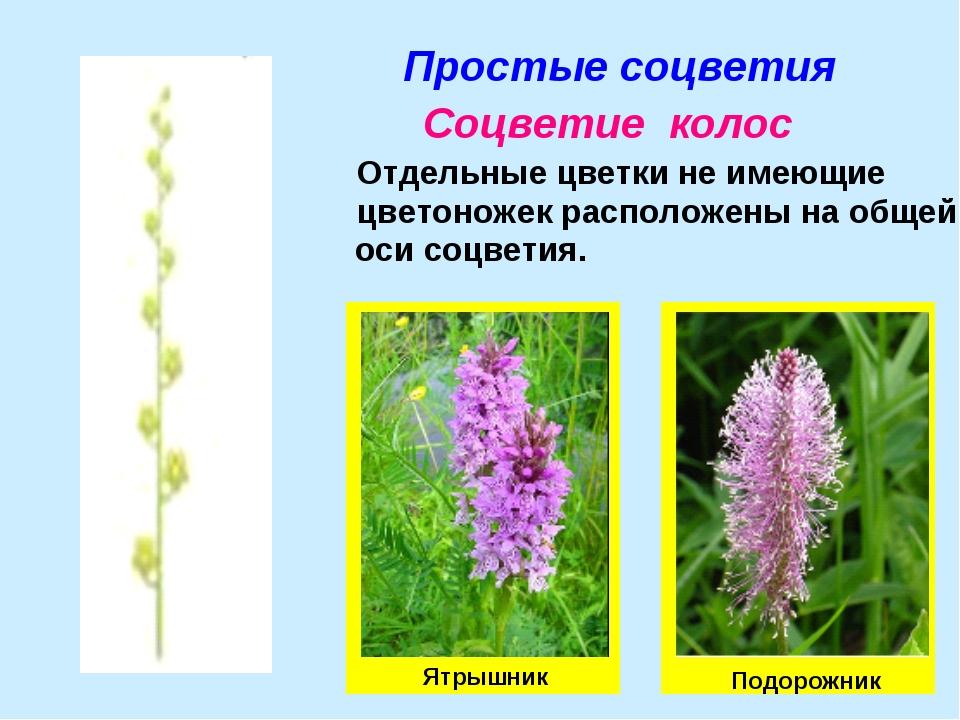 Простые соцветия Соцветие колос Отдельные цветки не имеющие цветоножек распол...