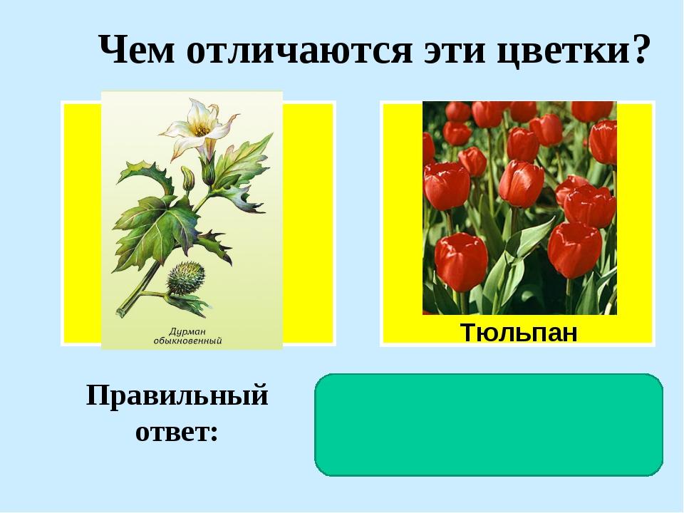 Чем отличаются эти цветки? Тюльпан Правильный ответ: У дурмана околоцветник д...