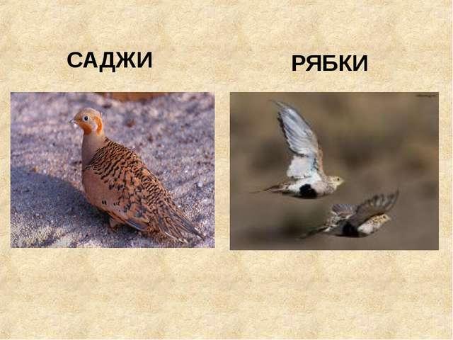 САДЖИ РЯБКИ Галина - null Галина - null