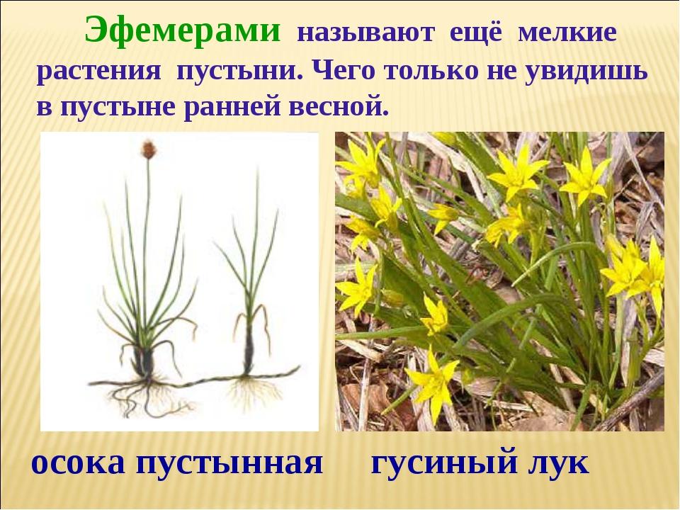 Эфемерами называют ещё мелкие растения пустыни. Чего только не увидишь в пус...