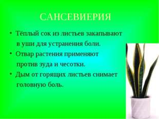 САНСЕВИЕРИЯ Тёплый сок из листьев закапывают в уши для устранения боли. Отвар