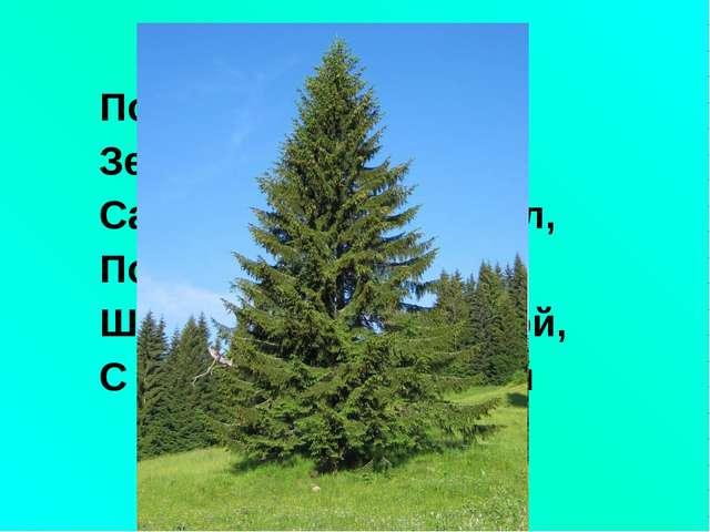 По округе славится Зелёная красавица: Сарафан - как колокол, По земле да воло...