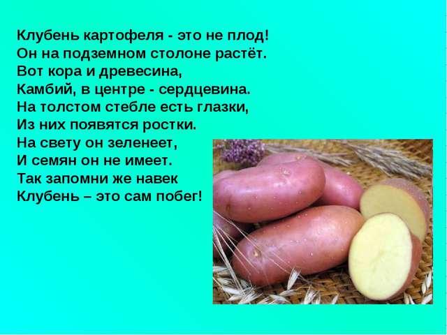 Клубень картофеля - это не плод! Он на подземном столоне растёт. Вот кора и д...