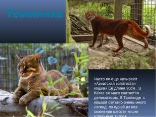 Темминка Часто ее еще называют «Азиатская золотистая кошка» Ее длина 90см . В