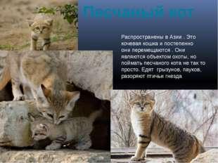 Песчаный кот Распространены в Азии . Это кочевая кошка и постепенно они перем