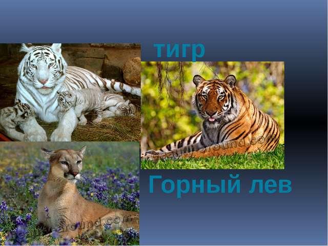 тигр Горный лев