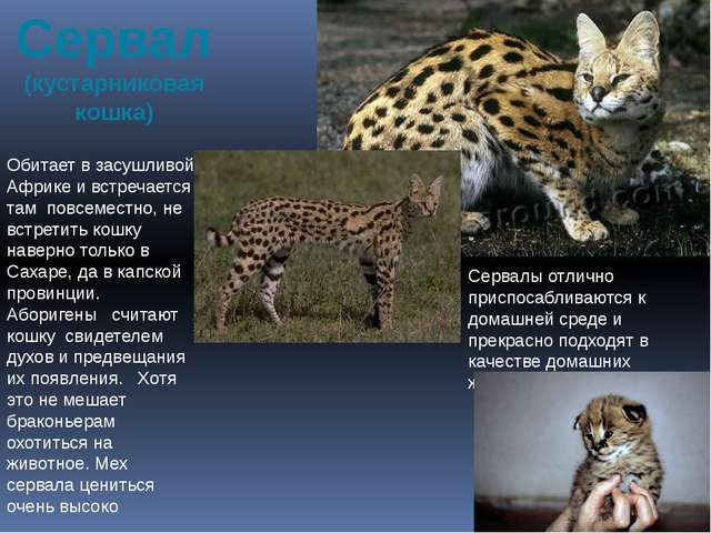 Сервал (кустарниковая кошка) Обитает в засушливой Африке и встречается там по...