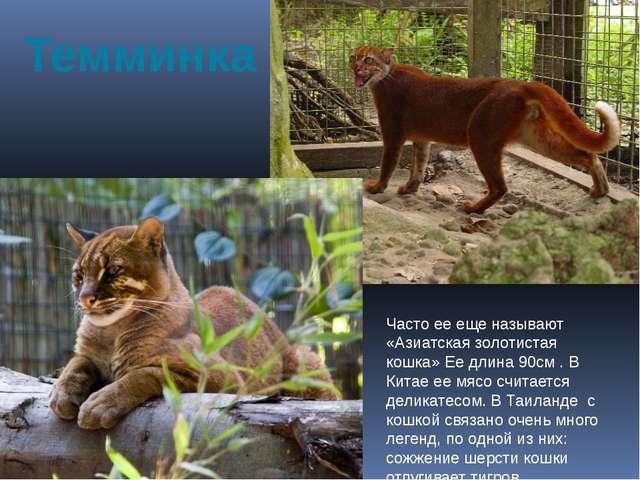 Темминка Часто ее еще называют «Азиатская золотистая кошка» Ее длина 90см . В...