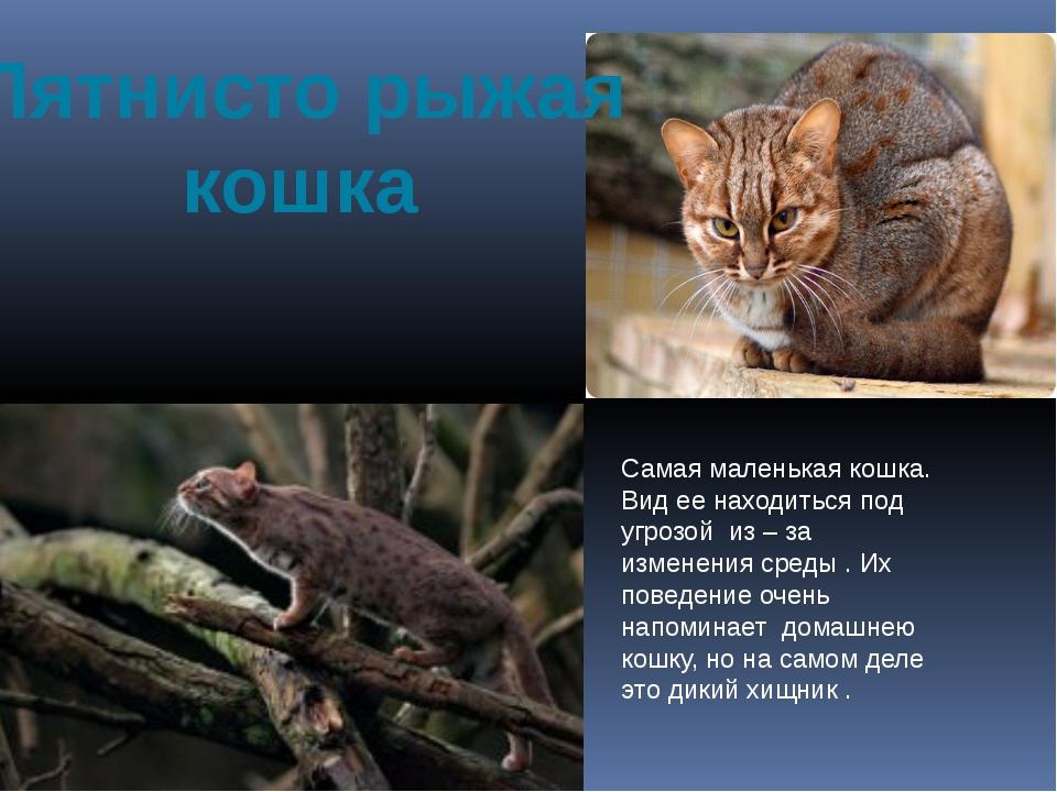 Пятнисто рыжая кошка Самая маленькая кошка. Вид ее находиться под угрозой из...
