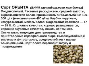 Сорт ОРБИТА (ВНИИ картофельного хозяйства) Позднеспелый. Растение раскидистое