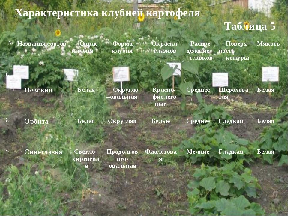 Характеристика клубней картофеля Таблица 5 №Названия сортовОкрас клубняФор...