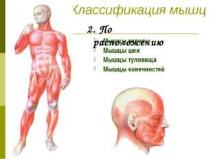 Классификация мышц 2. По расположению Мышцы головы Мышцы шеи Мышцы туловища М