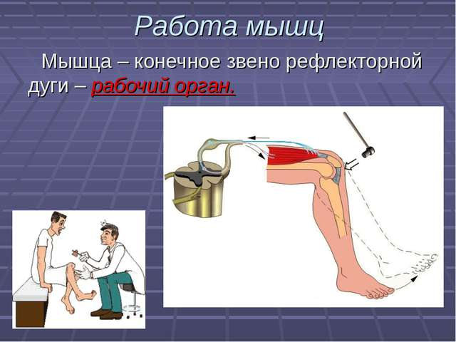 Работа мышц Мышца – конечное звено рефлекторной дуги – рабочий орган.