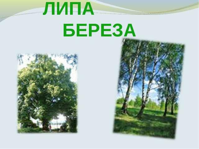 ЛИПА БЕРЕЗА