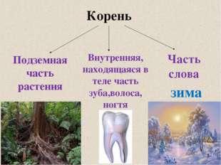 Корень Подземная часть растения Внутренняя, находящаяся в теле часть зуба,вол