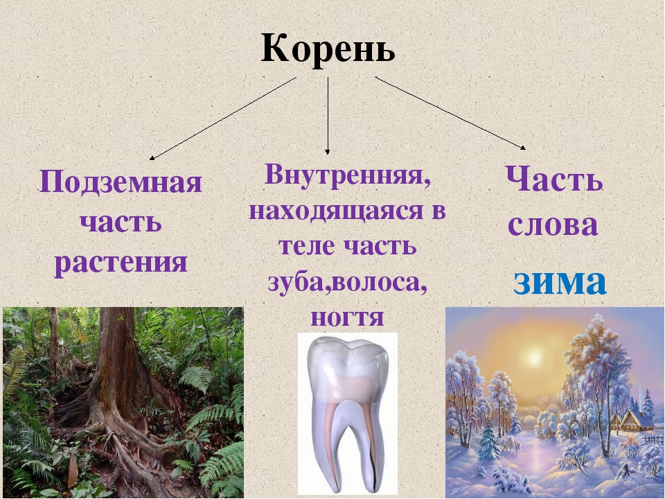 Корень Подземная часть растения Внутренняя, находящаяся в теле часть зуба,вол...