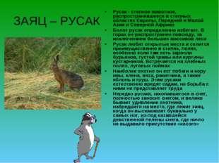 ЗАЯЦ – РУСАК Русак - степное животное, распространявшееся в степных областях