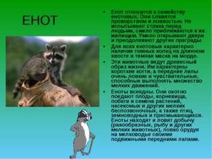ЕНОТ Енот относится к семейству енотовых. Они славятся проворством и ловкость