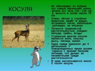 КОСУЛЯ Из обитающих на Кубани это самый маленький олень. Длина его тела 110 –