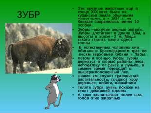 ЗУБР Эти крупные животные ещё в конце Х1Х века были на кубанской земле обычны
