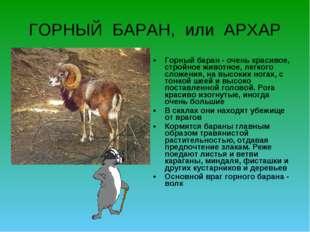 ГОРНЫЙ БАРАН, или АРХАР Горный баран - очень красивое, стройное животное, лег