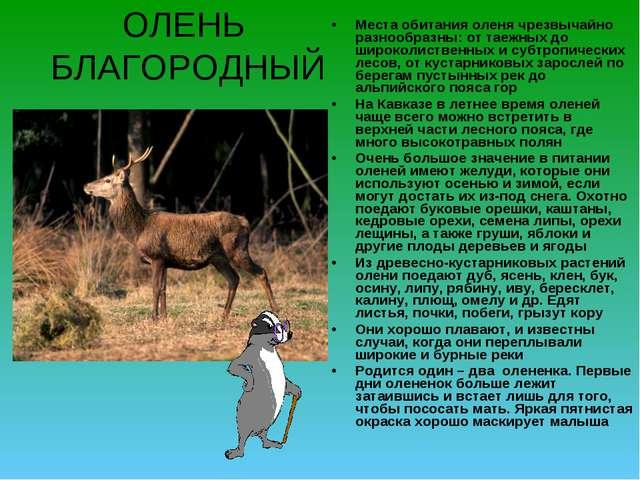 ОЛЕНЬ БЛАГОРОДНЫЙ Места обитания оленя чрезвычайно разнообразны: от таежных д...