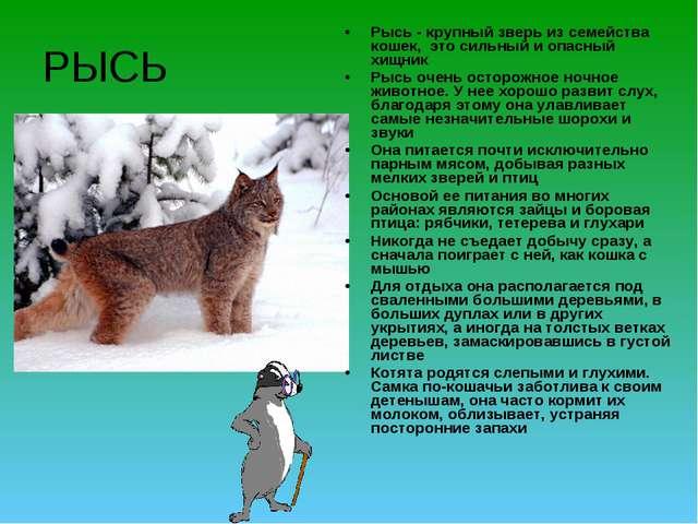 РЫСЬ Рысь - крупный зверь из семейства кошек, это сильный и опасный хищник Ры...