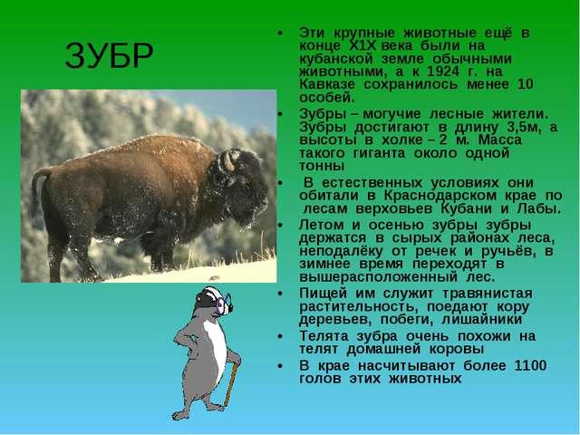 ЗУБР Эти крупные животные ещё в конце Х1Х века были на кубанской земле обычны...