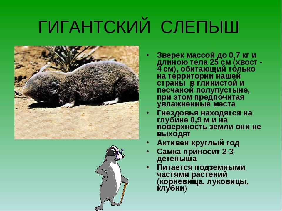 ГИГАНТСКИЙ СЛЕПЫШ Зверек массой до 0,7 кг и длиною тела 25 см (хвост - 4 см),...