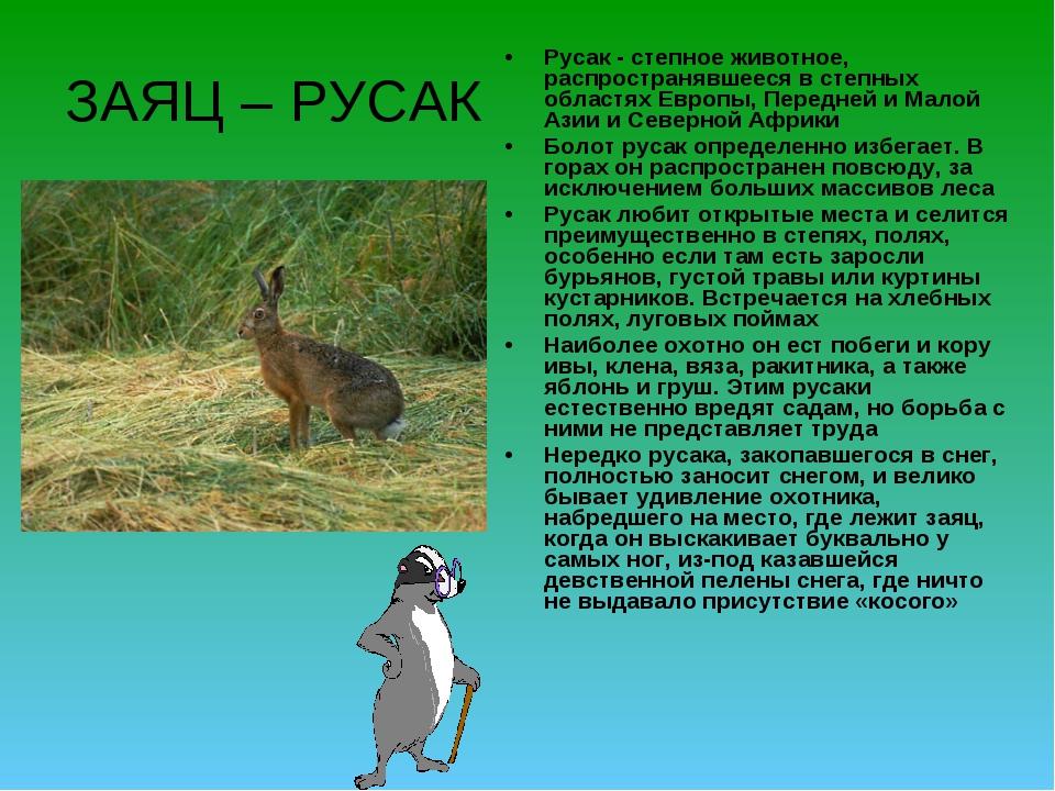 ЗАЯЦ – РУСАК Русак - степное животное, распространявшееся в степных областях...