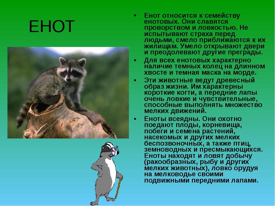 ЕНОТ Енот относится к семейству енотовых. Они славятся проворством и ловкость...
