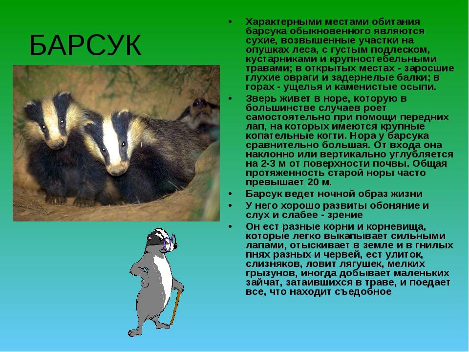 БАРСУК Характерными местами обитания барсука обыкновенного являются сухие, во...