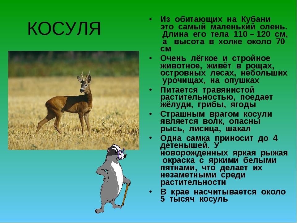 КОСУЛЯ Из обитающих на Кубани это самый маленький олень. Длина его тела 110 –...