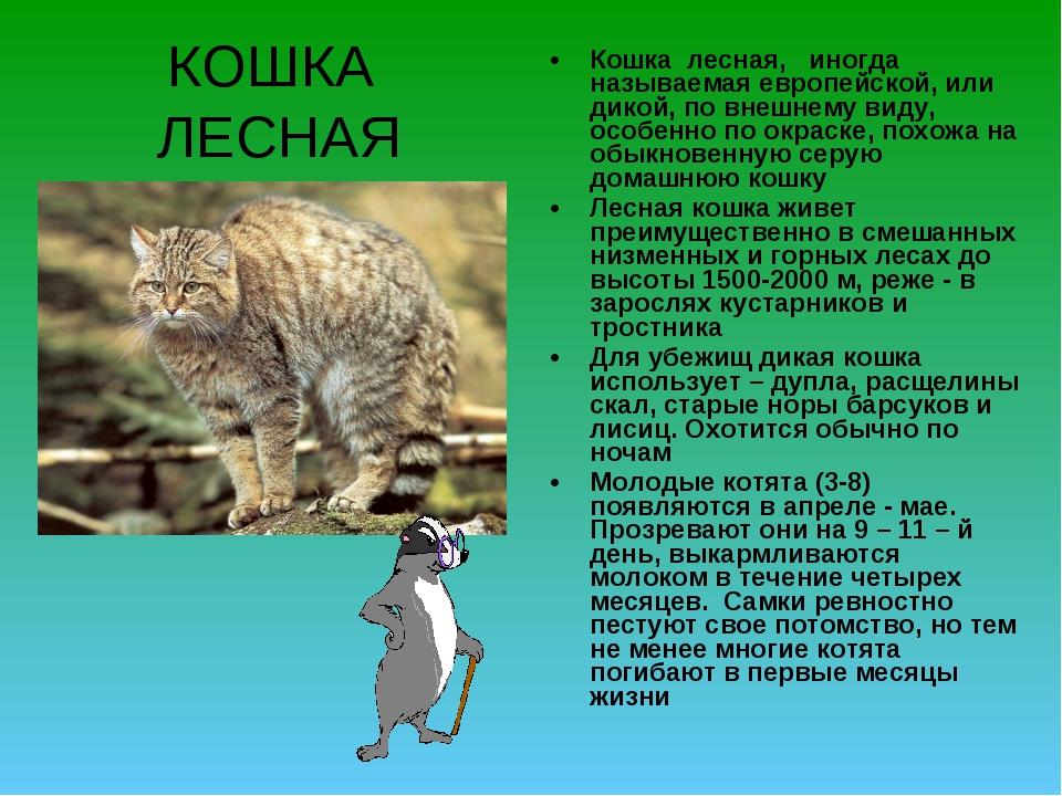 КОШКА ЛЕСНАЯ Кошка лесная, иногда называемая европейской, или дикой, по внешн...