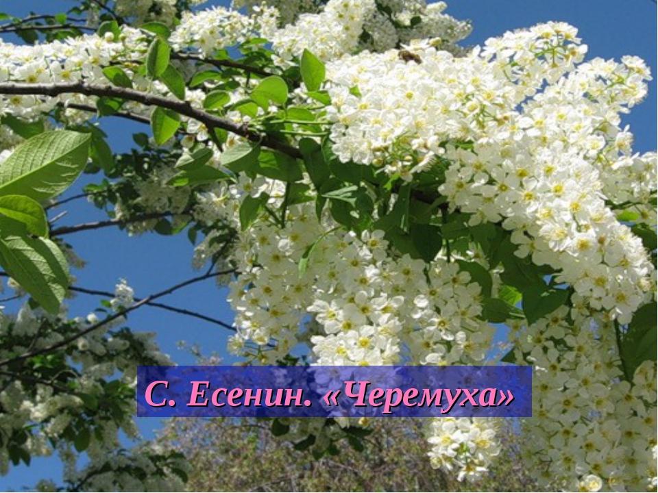 С. Есенин. «Черемуха»