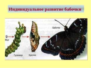 Индивидуальное развитие бабочки
