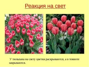 У тюльпана на свету цветки раскрываются, а в темноте закрываются. Реакция на