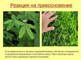 Реакция на прикосновение Если прикоснуться к листьям стыдливой мимозы, они бы