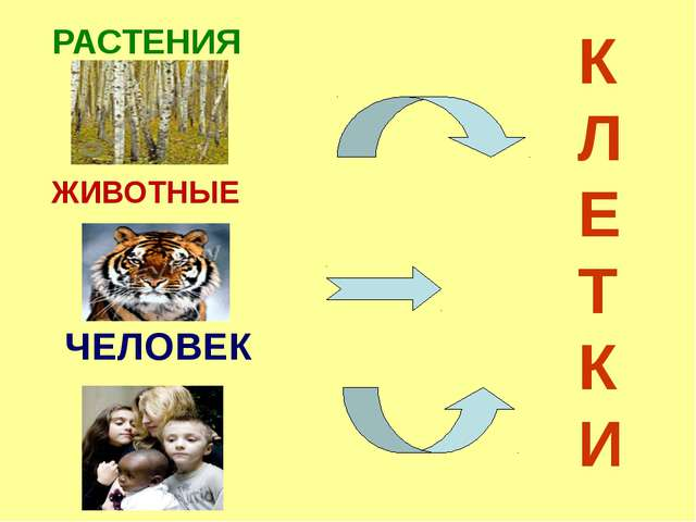 РАСТЕНИЯ ЖИВОТНЫЕ ЧЕЛОВЕК К Л Е Т К И