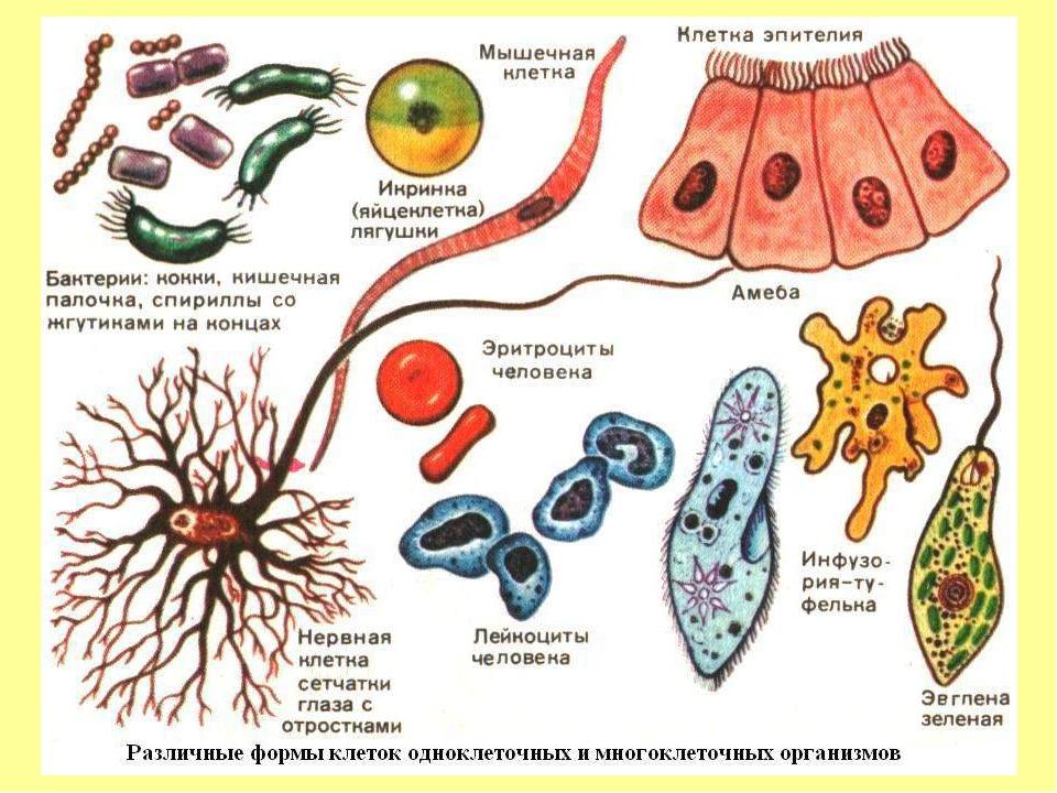 Сегодня используют такие методы изучения клеток: - рентгеноструктурный анализ...