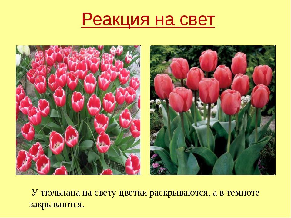 У тюльпана на свету цветки раскрываются, а в темноте закрываются. Реакция на...