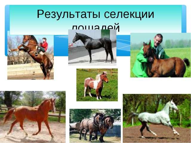 Результаты селекции лошадей