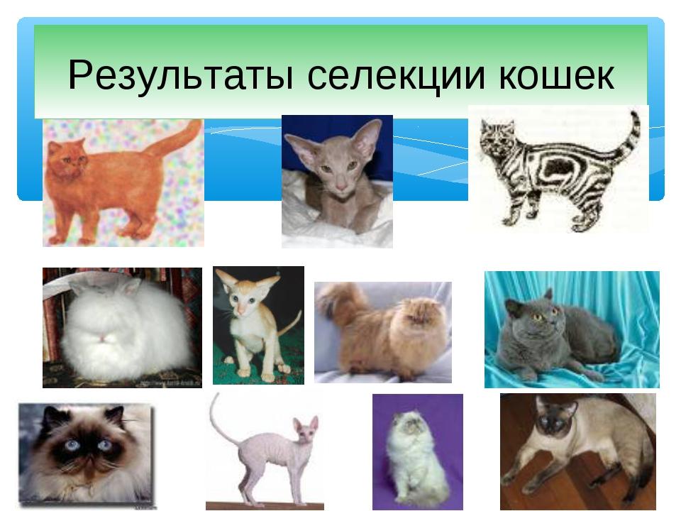 Результаты селекции кошек
