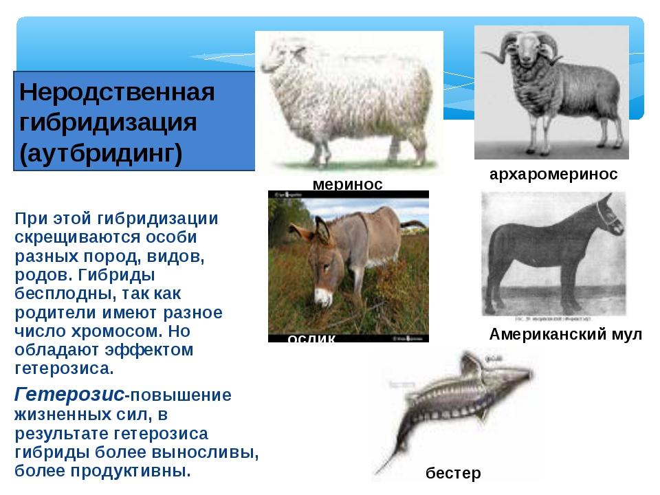 При этой гибридизации скрещиваются особи разных пород, видов, родов. Гибриды...
