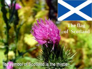 The symbol of Scotland is the thistle. The flag of Scotland