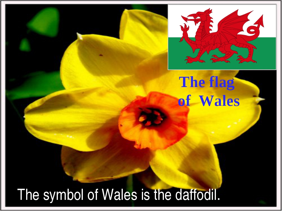 The symbol of Wales is the daffodil. The flag of Wales